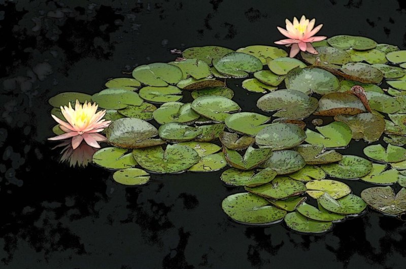 Lily Pads - Two Flowers