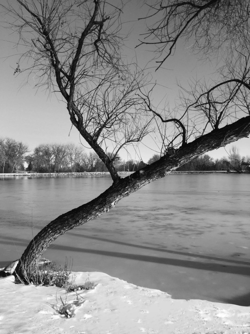 Cottonwood Park Tree, Black and White